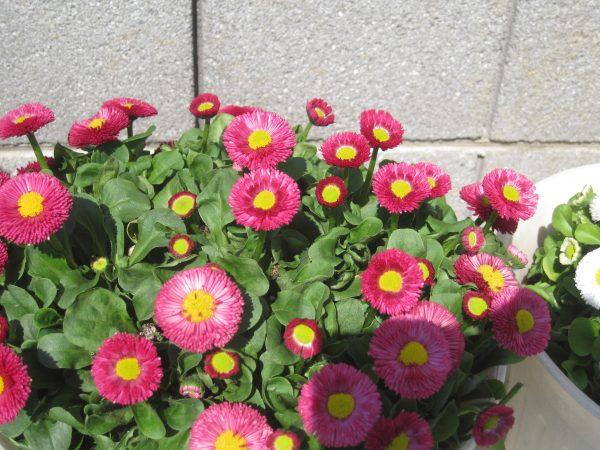 デージーの花